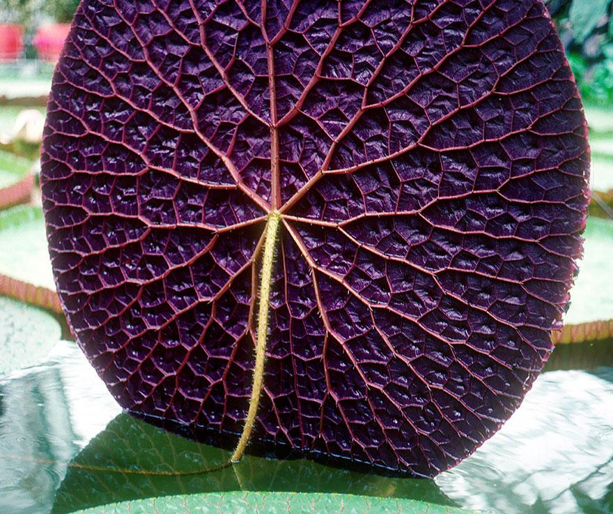 Amazon Lily Pad