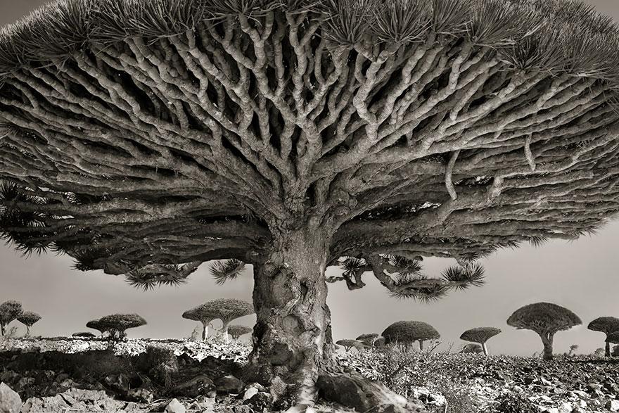 antichi alberi-Bet-moon-8