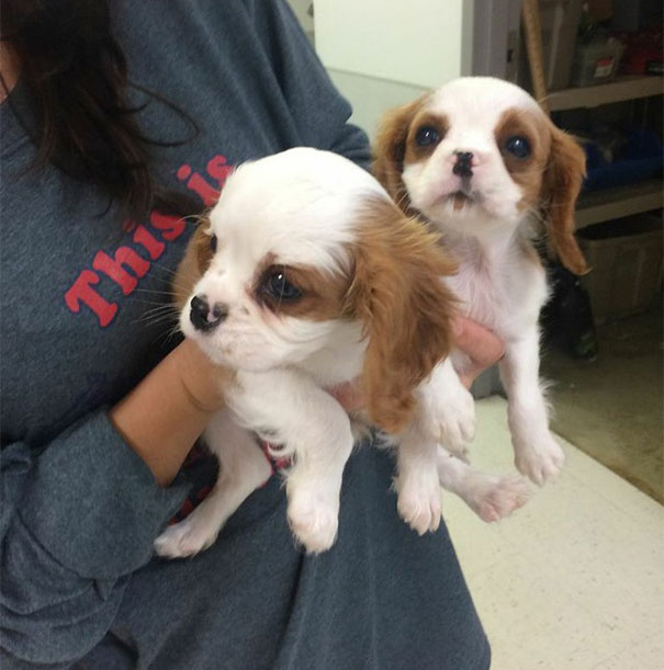 cavalier-king-charles-cocker-spaniel-rescue-puppy-mill-auction-27