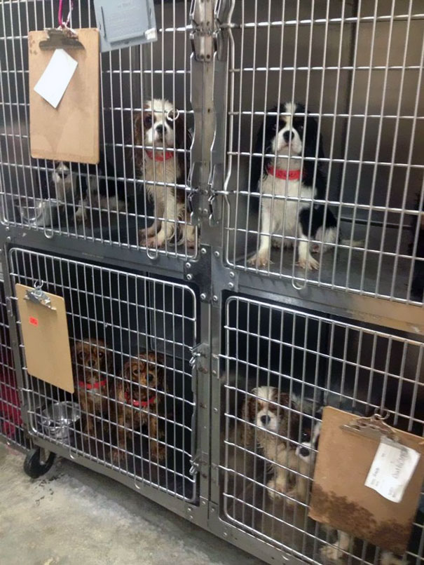 cavalier-king-charles-cocker-spaniel-rescue-puppy-mill-auction-3