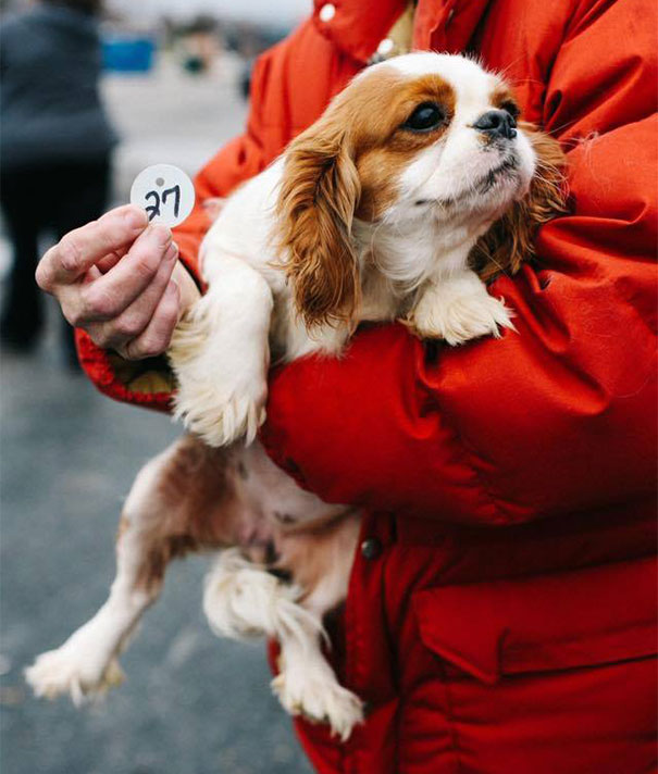 cavalier-king-charles-cocker-spaniel-rescue-puppy-mill-auction-7