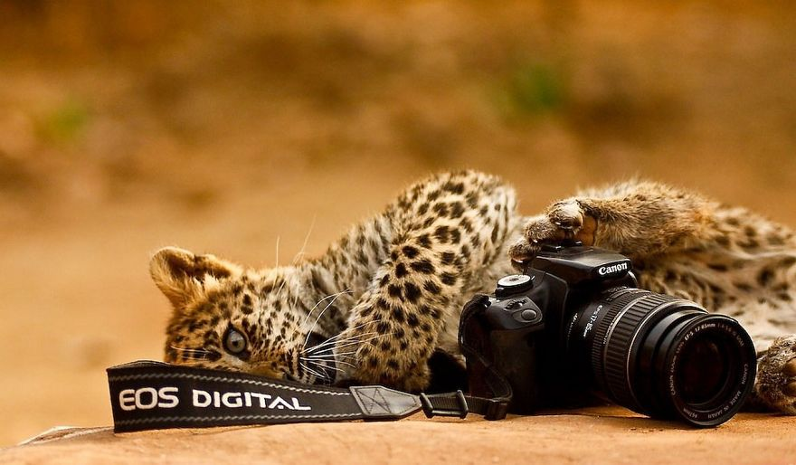 Leopard With Camera