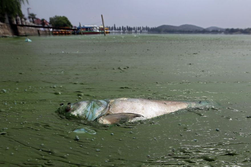 Dead Fish In Water Filled With Blueish Algae, East Lake, Wuhan