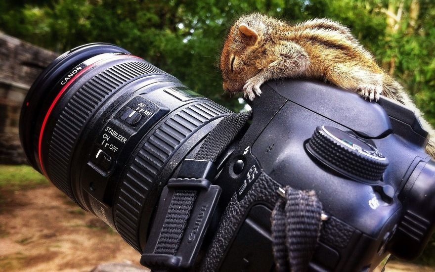 Chipmunk Sleeping On Camera