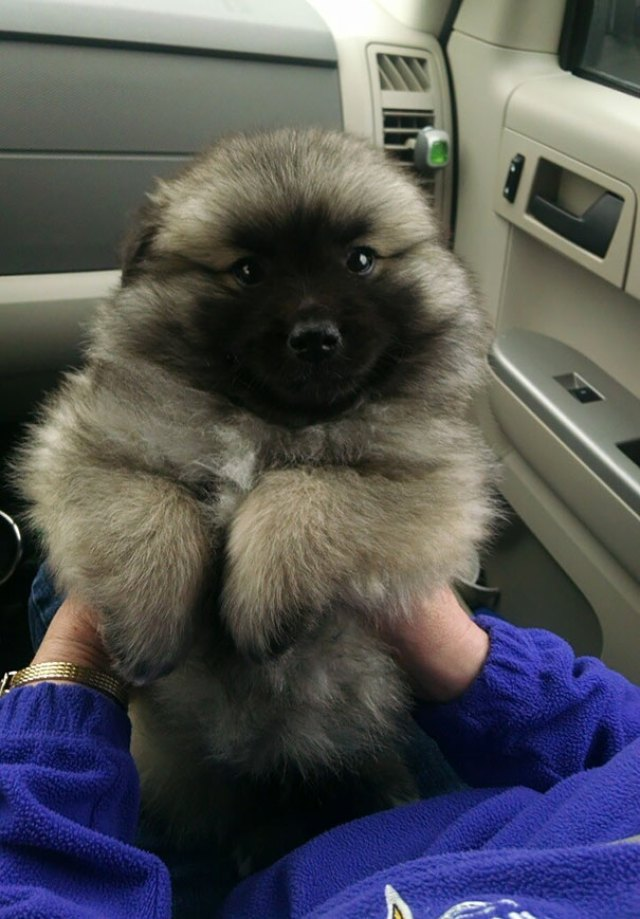 Keeshond Mixed With An American Eskimo