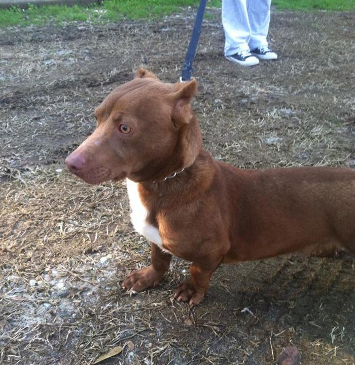 pitbull dachshund mix breed dog rami 3 All About Pitbull Dog Breed