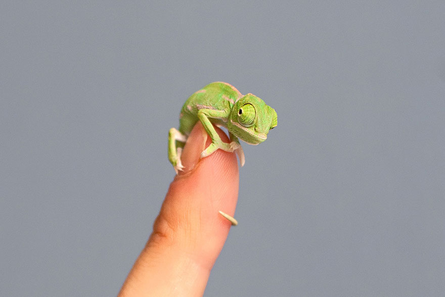 cute-baby-chameleons-hatch-taronga-zoo-sydney-3
