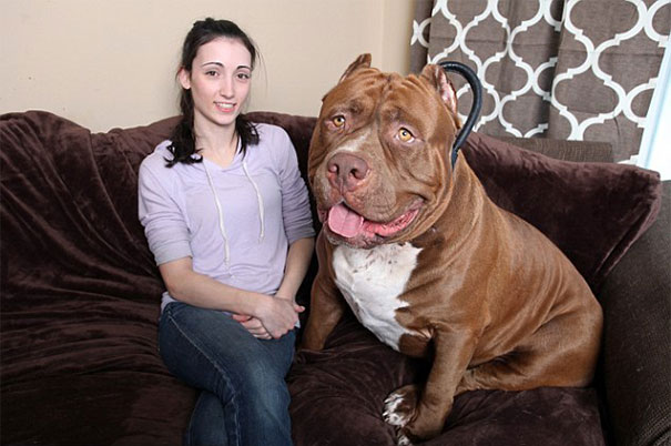 world biggest pitbull the hulk dark dynasty k9 2 The Biggest Pitbull Dog In The World