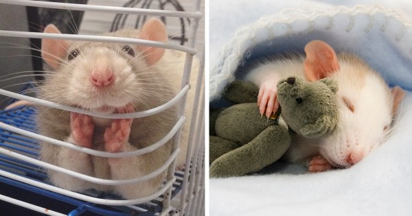 18 Adorable Rat Pics Proving That They Can Be The Cutest