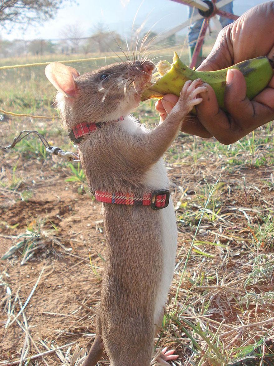 12hero-rats-bomb-demining-africa-apopo-12