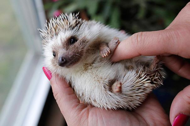 Hedgehog Gets A Belly Rub