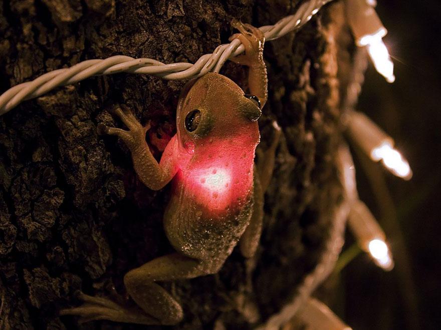Cuban Tree Frog Eating A Lightbulb