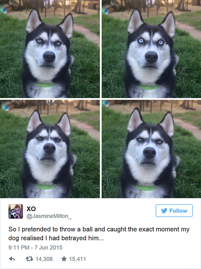 dog-tricked-facial-expression-anuko-husky-12
