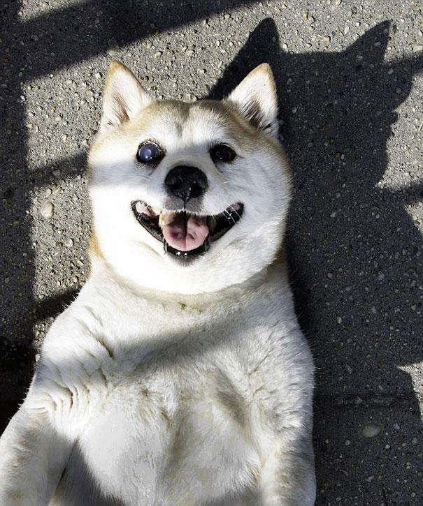 happiest-smiling-dog-shiba-inu-cinnamon-5