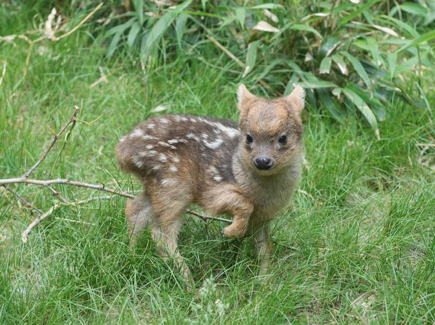 smallest-baby-deer-fawn-pudu-queens-zoo-3