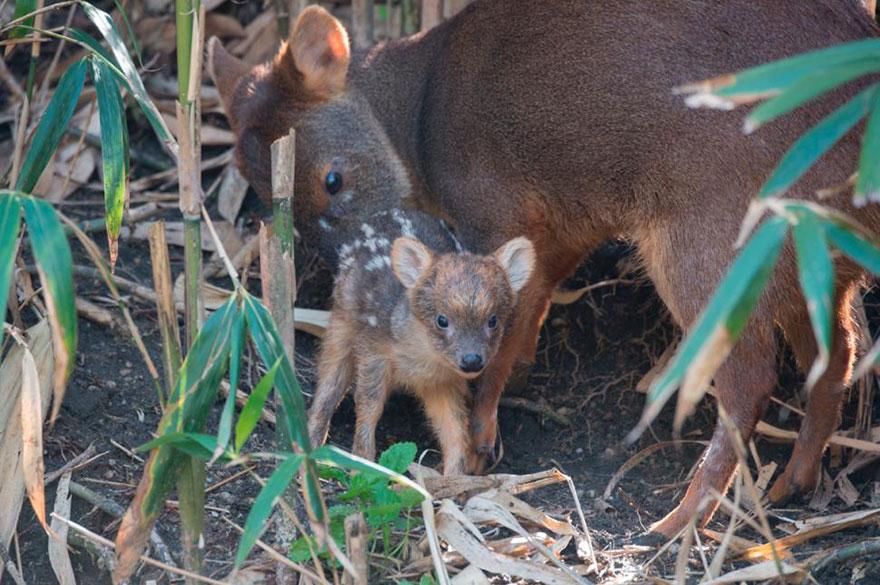 smallest-baby-deer-fawn-pudu-queens-zoo-4