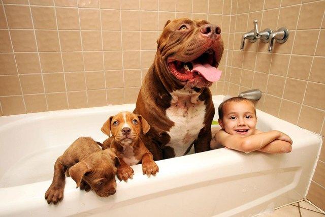 hulk-pitbull-largest-puppies-5