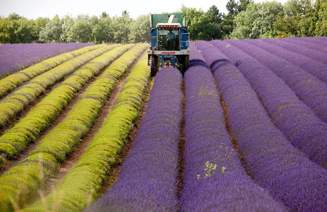 lavender-fields-harvesting-8