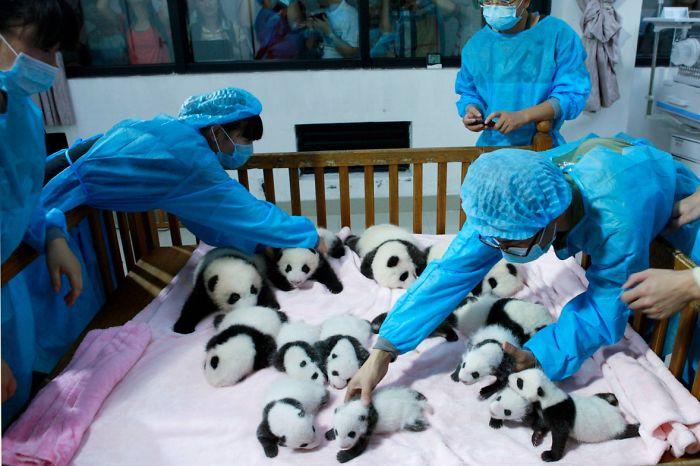 Breeders take care of giant panda cubs inside a crib at Chengdu Research Base of Giant Panda Breeding in Chengdu