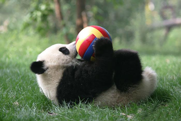 panda-daycare-nursery-chengdu-research-base-breeding-6