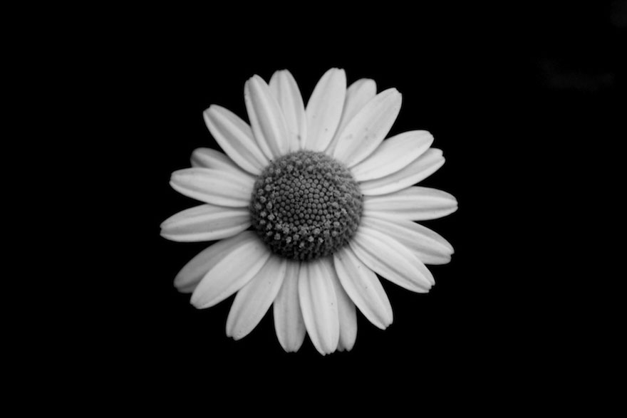 I Take Black   White Photos Of Garden Flowers To Show The Beautiful     More info  Facebook