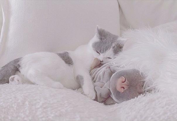 shar-pei-dog-paddington-friend-annie-cat-8