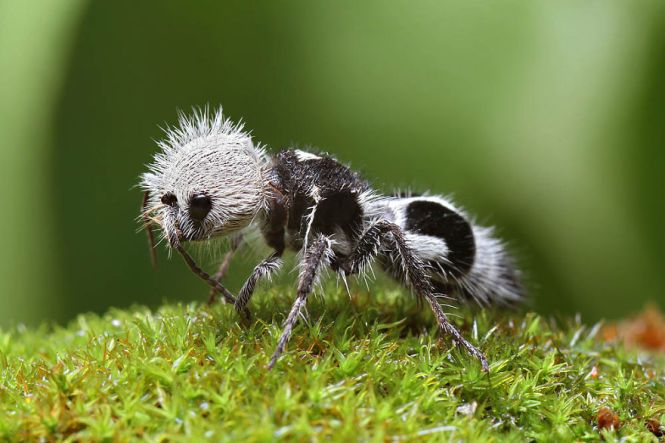 Adult Female Dasymutilla Sp A Velvet Ant