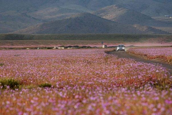 atacama-flowers-floración-mundos-seco-desierto-13