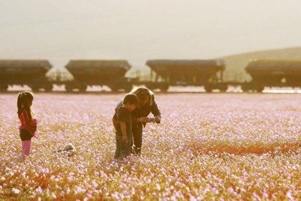 atacama-flowers-floración-mundos-seco-desierto-14