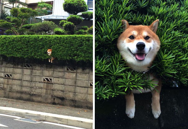 Shiba Inu Gets Stuck In Bush