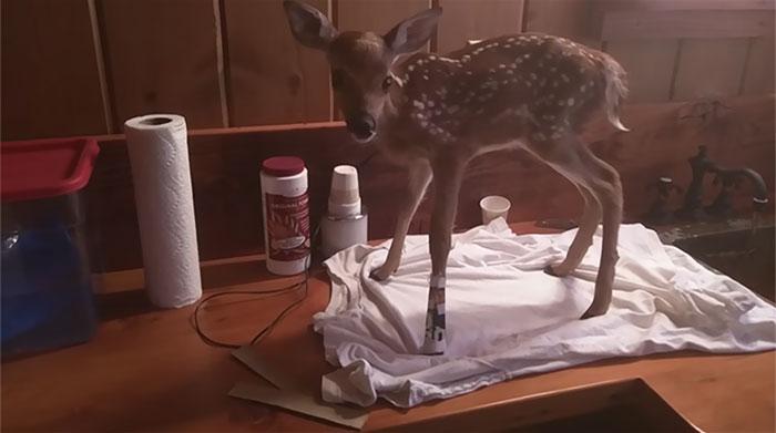 man-saves-injured-baby-deer-animal-friendship-3