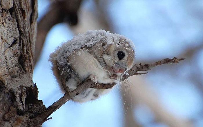 сибирские-японский карлик-летающие белки 20