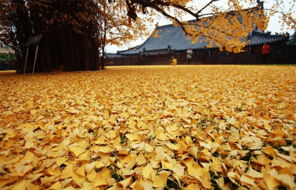 1400-old-ginkgo de árboles de color amarillo-deja-budista-temple-china-3