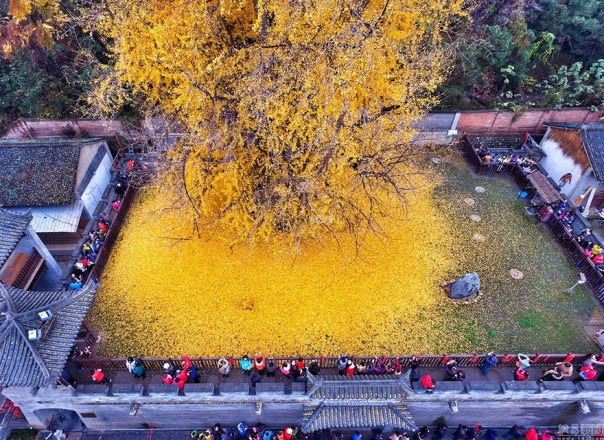 1400-old-ginkgo de árboles de color amarillo-deja-budista-temple-china-5