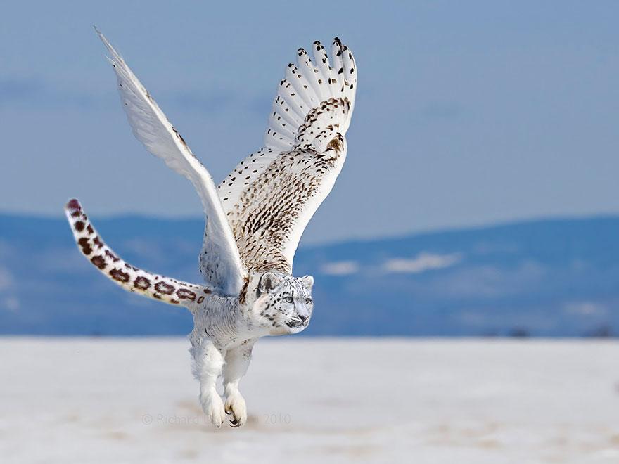 The Snowy Owlpard
