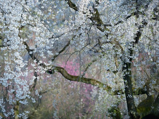 Flores imperiales, Japón