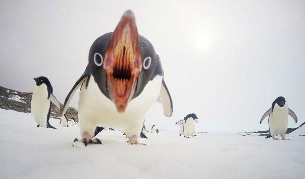 Cuando los pingüinos Ataque, la Antártida
