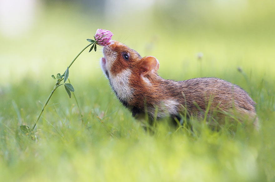 Hamster Smelling Flowers
