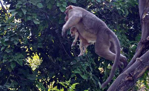 monkey-adopts-puppy-erode-india-1