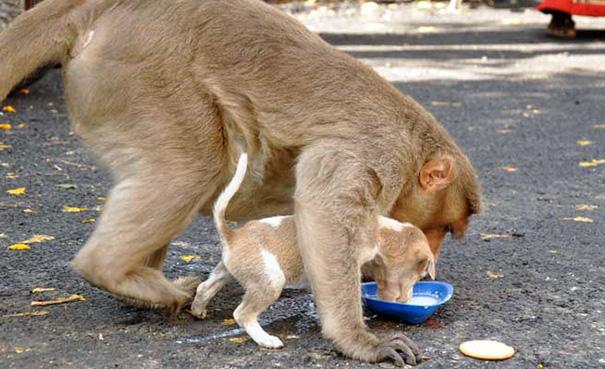 monkey-adopts-puppy-erode-india-10