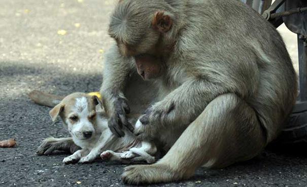 monkey-adopts-puppy-erode-india-11