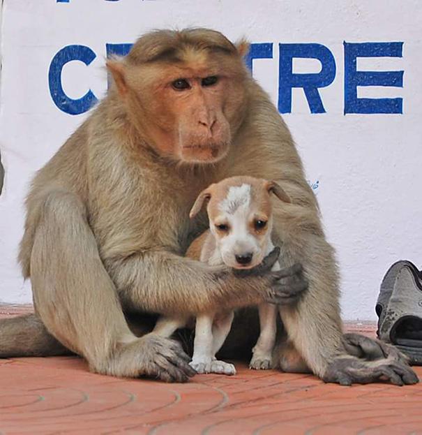 monkey-adopts-puppy-erode-india-4
