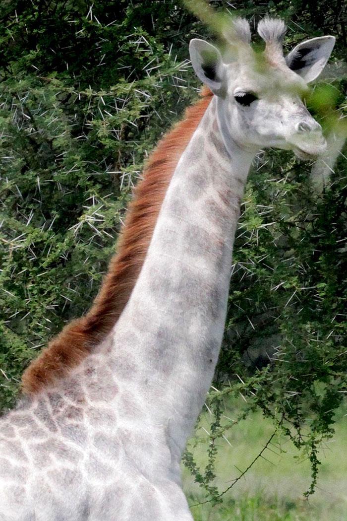 blanco-jirafa-leucismo-albino-raras-animales-omo-tanzania-9