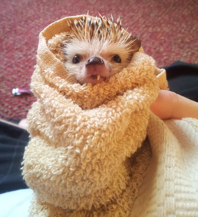 Since A Lot Of People Enjoyed The Scraggly One Toothed Hedgehog Here He Is After His Bath Last Night