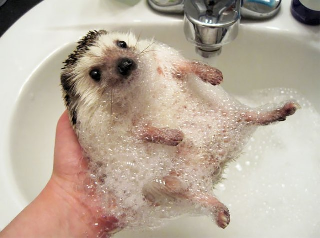 Hedgehog Covered In Bubbles