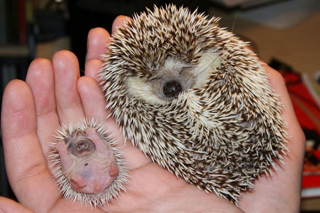 Mummy Hedgehog With Her Mini-me Baby