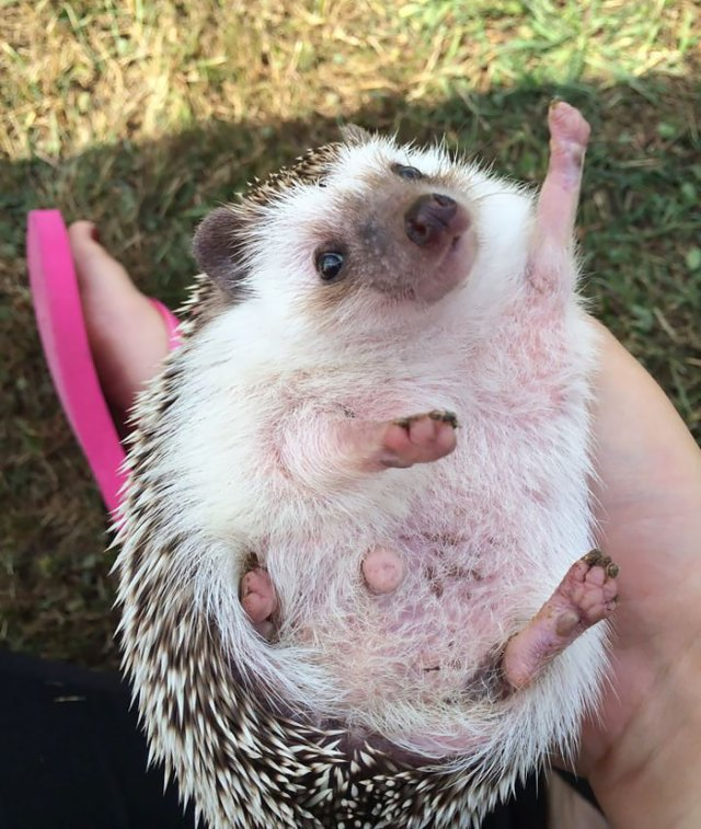 "I Showed My Friend (Who Owns A Hedgehog) The ""Enthusiastic Hedgehog"" Meme. Two Days Later She Sent Me This Pic"
