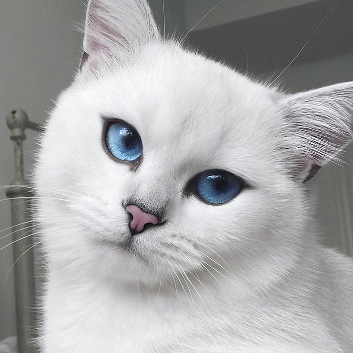 most-beautiful-eyes-cat-coby-british-shorthair-45