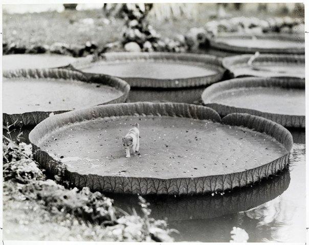 A bordo de un gatito flotante Victoria Agua del cojín de lirio en las Filipinas, 1935