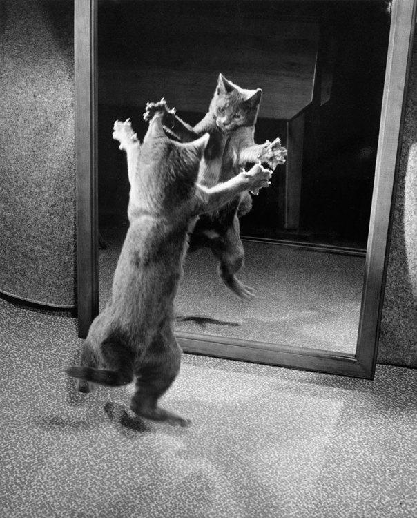 Con Garras Bared, un gatito ataca su propio reflejo de espejo de 1964